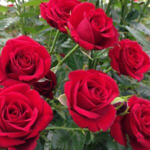"""Троянда """"Grand Gala"""" с7"""