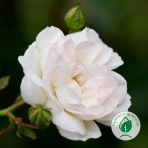 """Троянда """"Swany"""" ВКС"""