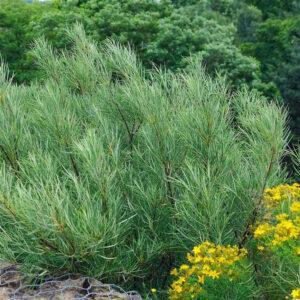 """Верба розмаринолиста """"Salix rosmarinifolia"""" с3"""