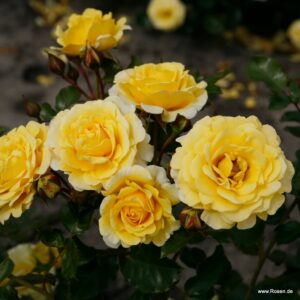 "Троянда ""Sunmaid"" с7"