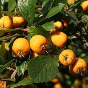 "Глід плодовий ""Aurea"" ВКС 1,7-2,2 м"