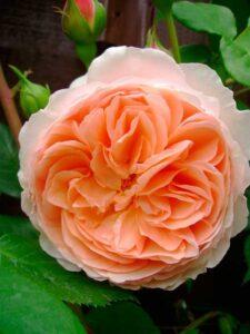 "Троянда ""William Morris"" ВКС"