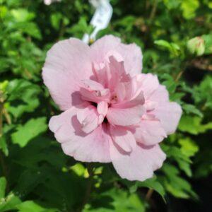 """Гібіскус сірійський """"Pink Chiffon"""" с 1,5"""