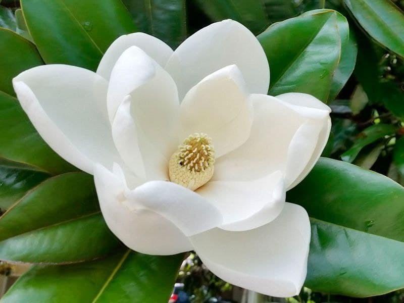 """Магнолія вічнозелена """"Grandiflora"""" с1,5"""