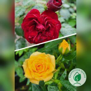 """Троянда штамбова """"Cordula+Clementine"""" c7"""