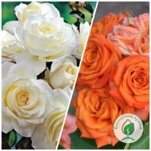 """Троянда штамбова """"Orange Baby+Bolero"""" c7"""