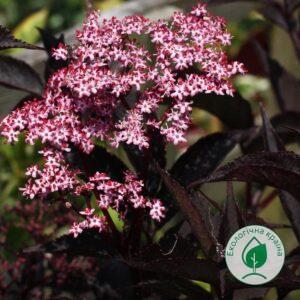 "Бузина чорна (Sаmbucus nigra ""Black Beauty"") ВКС 0,3-0,4 м"