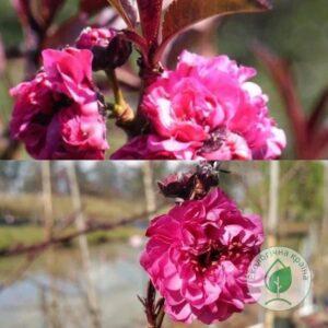 "Мигдаль пурпуролистий ""Crimson Almond"" ВКС 1,1-1,3м"