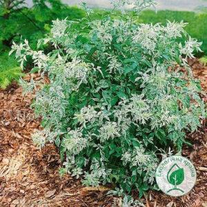 """Бузина чорна (Sаmbucus nigra """"Pulverulenta"""") ВКС 0,3-0,4 м"""