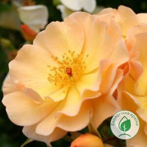 "Троянда ""Amber Sun"" ВКС"